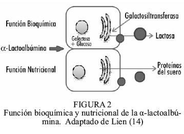 α Lactoalbúmina Como Ingrediente De Fórmulas Infantiles